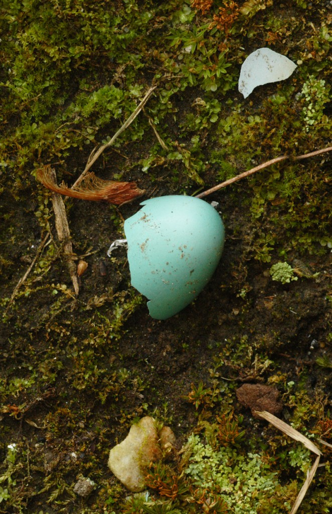 Robin's Egg in Moss