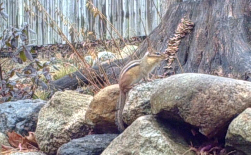 Eastern Chipmunk on Rock Wall